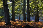 Autumn in Rhinefield Ornamental Drive, New Forest, Hampshire, England, United Kingdom, Europe