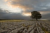 A lone hawthorn tree on limestone pavement outside Malham, Yorkshire, England, United Kingdom, Europe