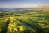 Golden ripened corn growing in a hilltop field in rural Devon,  England,  United Kingdom,  Europe