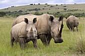White rhino (Ceratotherium simum), and calf, Ithala Game Reserve, KwaZulu Natal, South Africa, Africa