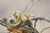 Two tree squirrels (Paraxerus cepapi), Kruger National Park, South Africa, Africa