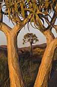Quiver trees (kokerboom) (Aloe dichotoma), Augrabies Falls National Park, Northern Cape, South Africa, Africa