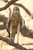 Juvenile pale chanting goshawk (Melierax canorus), Kgalagadi Transfrontier Park, encompassing the former Kalahari Gemsbok National Park, South Africa, Africa
