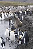 King penguins and fur seals, St. Andrews Bay, South Georgia, South Atlantic