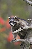 Raccoon (racoon) (Procyon lotor) in a tree with an open mouth, in captivity, Minnesota Wildlife Connection, Minnesota, United States of America, North America