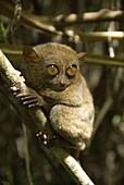 Tarsier fraterculus, the smallest living primate, 130mm (5 ins) tall, Tarsier Sanctuary, Sikatuna, Bohol, Philippines, Southeast Asia, Asia