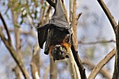 Grey-headed flying fox (Pteropus poliocephalus), Yarra Bend Park, Melbourne, Victoria, Australia, Pacific