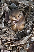 Common dormouse (Muscardinus avellanarius), torpid, in captive breeding programme, United Kingdom, Europe