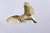 Barn owl (Tyto alba) in flight, in captivity, Cumbria, England, United Kingdom, Europe