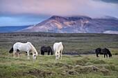 Icelandic horses, near Stykkisholmur, Snaefellsness Peninsula, West Iceland, Iceland, Polar Regions