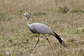 Blue crane (Stanley crane) (paradise crane) (Anthropoides paradiseus), Mountain Zebra National Park, South Africa, Africa