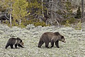Grizzly bear (Ursus arctos horribilis) sow with a yearling cub, Yellowstone National Park, UNESCO World Heritage Site, Wyoming, United States of America, North America