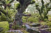 Twisted oak trees grow amongst the mossy boulders in Wistmans Wood, Dartmoor National Park, Devon, England, United Kingdom, Europe