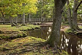 Ober Water flowing through autumnal trees at Puttles Bridge, New Forest, Hampshire, England, United Kingdom, Europe
