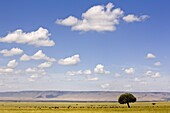 A herd of buffalo dwarfed by the vastness of the Masai Mara plains, Kenya, East Africa, Africa