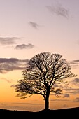 Bare winter tree at sunset, The Roaches, Staffordshire, Peak District National Park, England, United Kingdom, Europe