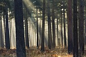 Mist in a pine wood, New Forest National Park, Hampshire, England, United Kingdom, Europe