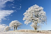 White hoar frosted trees on a cold winter morning, Bow, Devon, England, United Kingdom, Europe