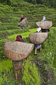 Female farmers in the field with traditional rain protection, lwang village, Annapurna area, Pkhara, Nepal, Asia