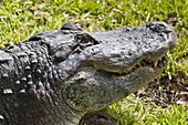 American alligator (Alligator mississippiensis), Everglades, UNESCO World Heritage Site, Florida, United States of America, North America