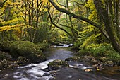 River Teign flowing through deciduous woodland in autumn, Dartmoor, Devon, England, United Kingdom, Europe