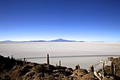 Cacti on Isla de los Pescadores, Volcan Tunupa and the salt flats, Salar de Uyuni, Southwest Highlands, Bolivia, South America