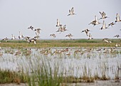 Sandpipers, stilts and redshanks taking flight from the shallow wetland waters at the edge of Chilika Lake, Orissa, India, Asia