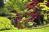 Acer trees and pond in spring sunshine, Gardens of Villa Melzi, Bellagio, Lake Como, Lombardy, Italian Lakes, Italy, Europe