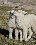 Two mountain goat (Oreamnos americanus) kids playing, Mount Evans, Arapaho-Roosevelt National Forest, Colorado, United States of America, North America