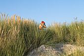tourist, birdwatcher, Island of Juist, dunes, Lower Saxony, Germany