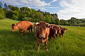 Grazing cattle in front of the Dolomit rocks, near Gerolstein, Eifelsteig hiking trail, Vulkaneifel, Eifel, Rhineland-Palatinate, Germany