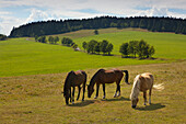 Horses on a meadow at Meuselbacher Kuppe, nature park Thueringer Wald, Thuringia, Germany