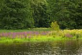 Saale banks near Burgk castle, nature park Thueringer Schiefergebirge / Obere Saale,  Thuringia, Germany