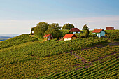 Vineyard, Falkenberg, Falkenstein, Community of Donnersdorf, Unterfranken, Bavaria, Germany, Europe