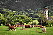 Grazing cows on an alpine meadow and church with onion tower, Völs am Schlern, Tiers Valley, Nature Park Schlern-Rosengarten, Dolomites, South Tyrol, Alto Adige, UNESCO world heritage side, Italy, European Alps, Europe