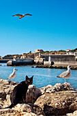 Cat and seagulls, castle Forte da Bandeira, Lagos, Algarve, Portugal