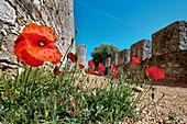 Poppy flowers at the castle, Santiago do Cacem, Costa Vicentina, Alentejo, Portugal