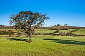 Cork oaks and finca near Beja, Korkeichen, Alentejo, Portugal
