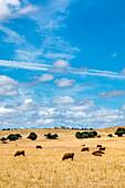 Cows on a field with cork oaks, Evora, Alentejo, Portugal