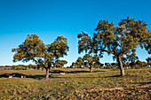 Cork oaks and sheep near Evora, Alentejo, Portugal
