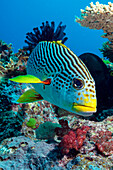 Striped sweetlips (diagonal banded sweetlips) (Plectorhinchus lineatus), North Ribbon Reef, Great Barrier Reef, UNESCO World Heritage Site, Queensland, Australia, Pacific