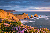 Beautiful sea pink wildflowers in spring on the clifftops above Screda Point, Hartland Quay, North Devon, England, United Kingdom, Europe