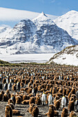 Adult and juvenile king penguins (Aptenodytes patagonicus), at breeding colony at Salisbury Plain, South Georgia, Polar Regions