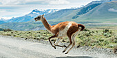 Guanaco (Lama guanicoe) running across a road with mountains in the distance, Torres del Paine National Park, Torres del Paine, Magallanes and Antartica Chilena Region, Chile