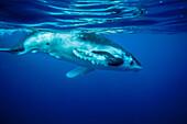 Baby Humpback Whale (Megaptera novaeangliae) swimming, Vavau, Tonga