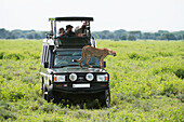 Tourists are thrilled by a close up view of a cheetah that has jumped up on their safari vehicle to get a better view of the grasslands near Ndutu in Ngorongoro Crater, Tanzania