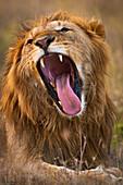 Male lion yawning showing large teeth, Ol Pejeta Conservancy, Kenya