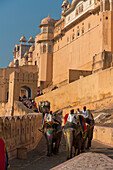 Elephants going up and down path to Amber Fort, Amer, Jaipur, India