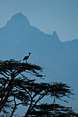 Grey Crowned Crane (Balearica regulorum) at top of tree in front of Mt Kenya, Ol Pejeta Conservancy, Kenya