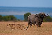 Buffalo watching cheetah walking across grassy plain, Ol Pejeta Conservancy, Kenya